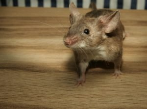 mouse-2204576_1920