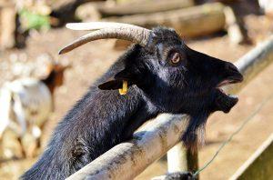 goat-2938424_1920
