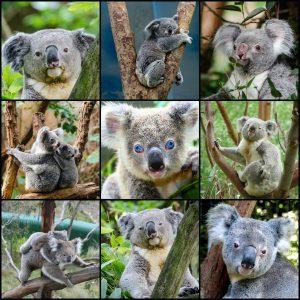 koala-2066411_1920 (1)